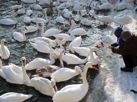 Save the Dniester Swans!